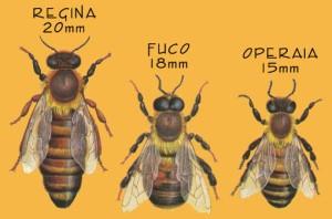 tipologia-di-api
