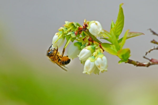 Beautiful little honey bee feeding on blueberry blooms.