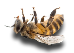KILLED BEE